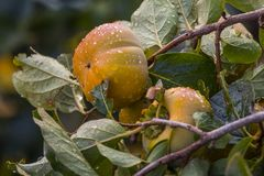 柿属亚洲柿树或柿子 免版税库存图片