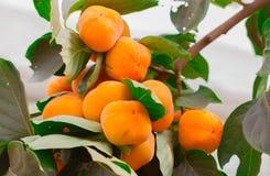 柿树和明亮的桔子 库存照片