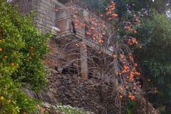 柿树用果子 免版税库存照片
