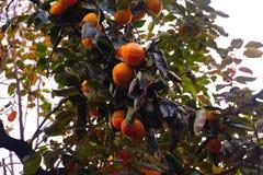 柿树,许多果子 图库摄影