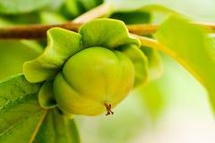 柿树 免版税库存图片