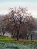 柿树 库存图片