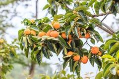 柿树 免版税库存照片
