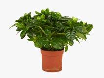 栀子植物 库存图片