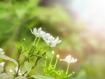 栀子绉纱茉莉花早晨 库存图片