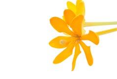 栀子carinata被隔绝的wallich花 库存照片