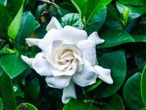栀子jasminoides在庭院里 免版税库存图片