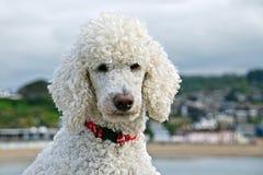 标准白色长卷毛狗 免版税图库摄影