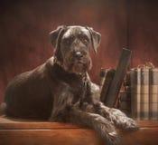 标准髯狗; 库存图片