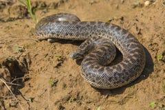 标枪沙子蟒蛇- Eryx jaculus turcicus 免版税图库摄影