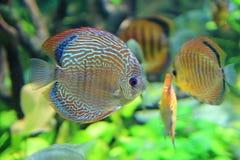 标量鱼 免版税图库摄影