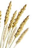 栈麦子 库存图片