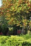 黄栌树 库存图片