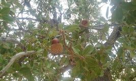 栎属树 免版税库存图片