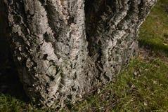 栎属软木关闭 免版税库存照片