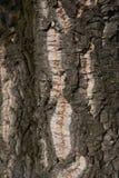 栎属软木关闭 库存图片