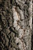 栎属软木关闭 免版税库存图片