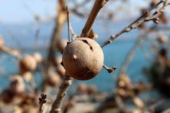 栎属infectoria与分支的树或阿勒颇橡木特写镜头在背景中 库存图片