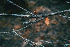 栎属pubescens被隔绝的小和橙色叶子在分支的 免版税库存图片