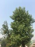 树、religiosa印度叶子、果子香蕉和花光 greenplants 图库摄影