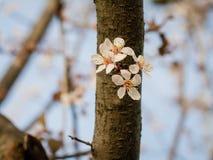 树一个开花的分支在一根树干的在春天 免版税库存照片