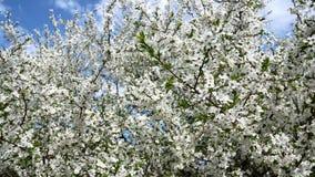 树一个开花的分支在春天有微风的 空白美丽的花 树分支在绽放的在春天  影视素材