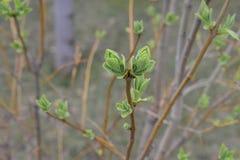 树丁香的开花的芽在春天 库存图片