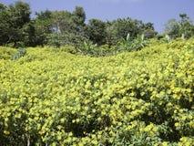 树万寿菊花,墨西哥向日葵 图库摄影