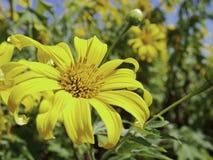 树万寿菊花,墨西哥向日葵 免版税库存图片