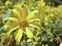 树万寿菊花,墨西哥向日葵 免版税图库摄影