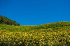 树万寿菊,墨西哥tournesol,在蓝天的墨西哥向日葵 库存照片
