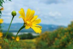 树万寿菊,墨西哥tournesol,墨西哥向日葵 免版税库存图片