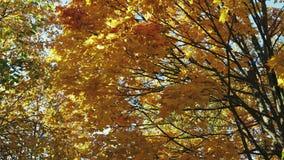 树上面与黄色叶子的,金黄秋天 影视素材