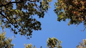 树上面从在蓝天的风摇摆 影视素材
