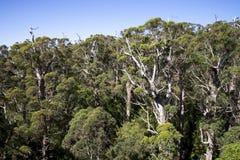 从树上面步行桥梁的一个巨型兴奋森林视图 免版税库存照片