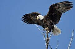 从树上面的白头鹰狩猎 免版税库存图片