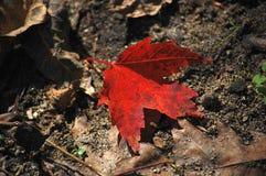 从树下落的红槭叶子 库存照片