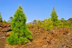 树丛国家公园杉木温泉teide tenerife 免版税图库摄影