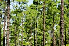 树丛国家公园杉木teide tenerife 库存照片