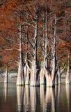 树丛在Sukko秋天的柏树 库存图片