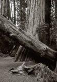 树丛族长 图库摄影