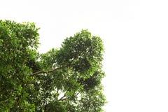 树丛林在白色背景从下面射击了 免版税库存图片
