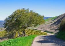 树丛柠檬橡木 库存图片