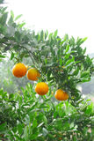 树丛桔子 库存图片