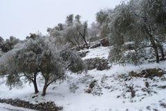树丛橄榄冬天 免版税库存图片