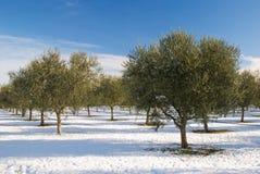 树丛橄榄冬天 免版税库存照片