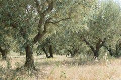 树丛橄榄树 库存图片