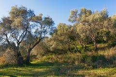 树丛橄榄树 库存照片