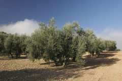 树丛橄榄 免版税库存图片