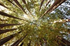 树丛红木结构树 免版税库存图片